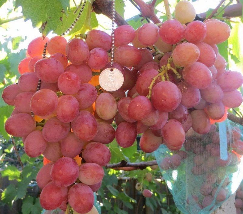 Выращивать сорт винограда Анюта можно как в южных регионах России, так и в средней климатической полосе
