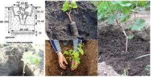 Высадка винограда в грунт не отличается от аналогичной процедуры для иных саженцев