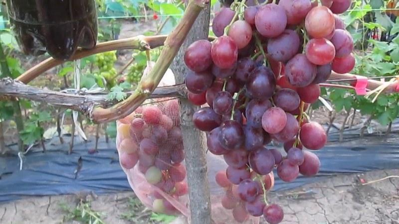 Высаживать сорт рекомендуется в регионах с относительно мягкими зимами
