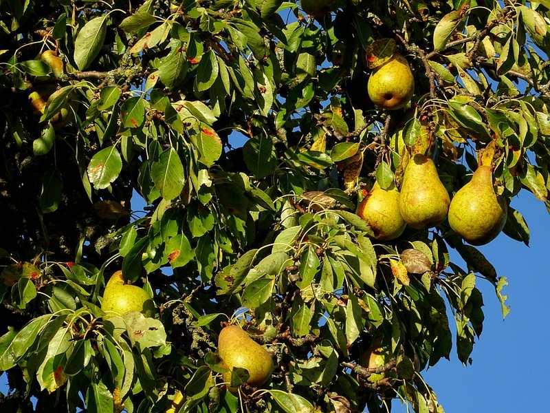 Высота дерева служит препятствием для сбора урожая