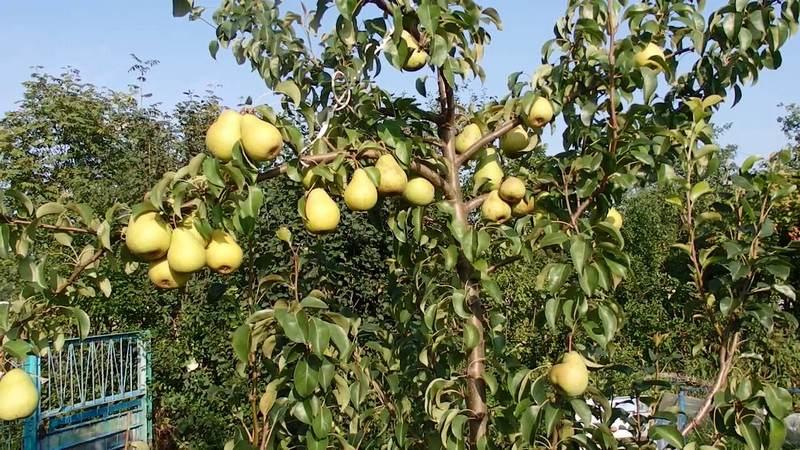 Высота взрослых деревьев достигает 4-5 метров