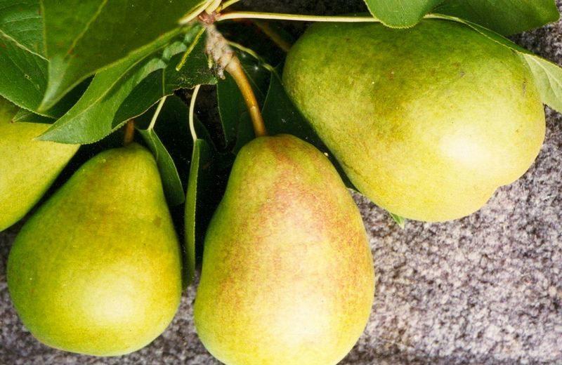 Зрелость плодов определяется по желто-зеленому оттенку кожуры