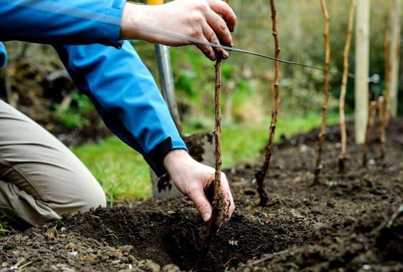Земля для выращивания малины должна быть рыхлой и плодородной