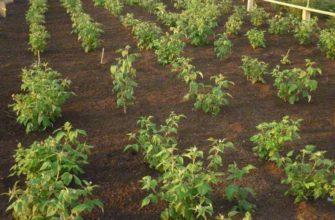 Подготовка почвы для малины