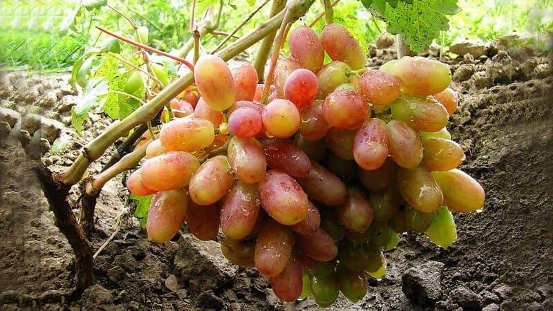 Характеристики винограда делают этот сорт популярным и востребованным