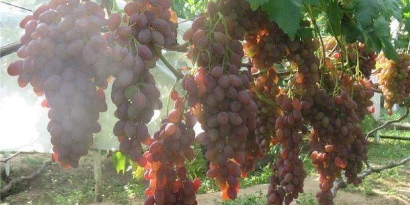Виноград сорта Румба