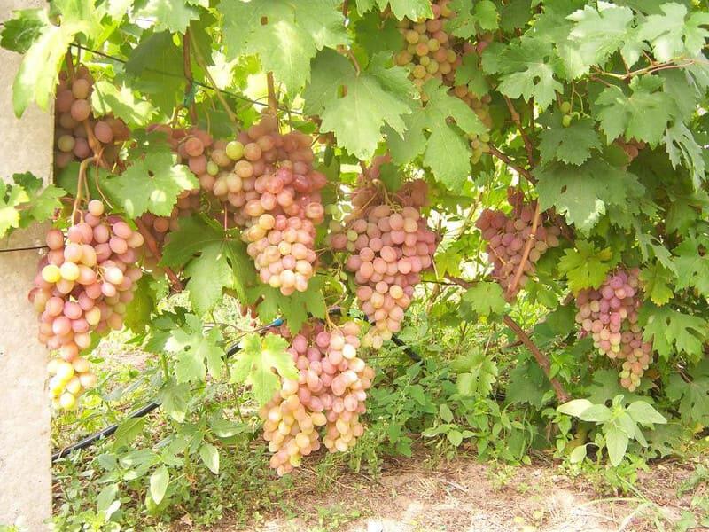 Процент вызревания винограда Румба составляет не менее 80%
