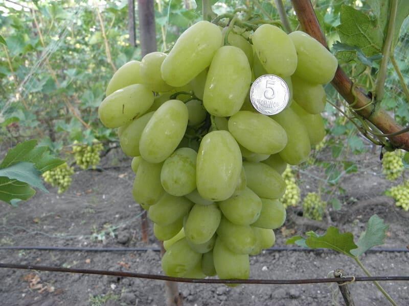 Виноград Сицилия - результат любительской селекции Александра Бурдака