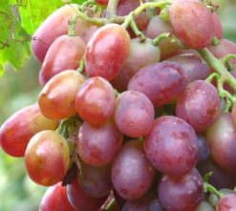 Вкусовые качества Славы Молдавии значительно уступают Ризамату