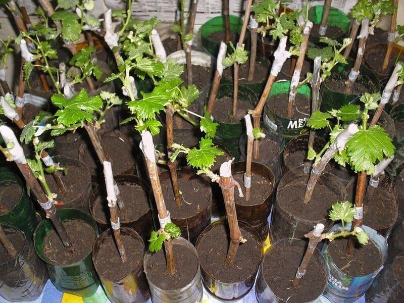 Для размножения винограда саженцами следует выбирать однолетние кустики