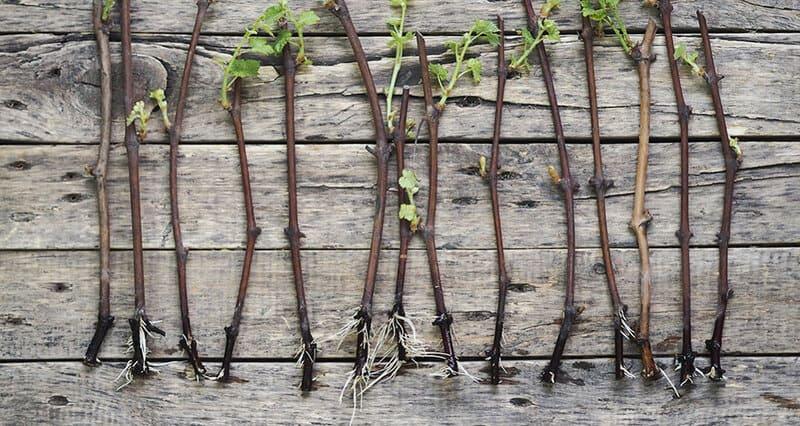 Черенки дают высокое качество урожая