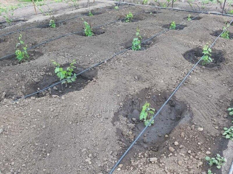 Посаженный виноград поливают дважды в неделю