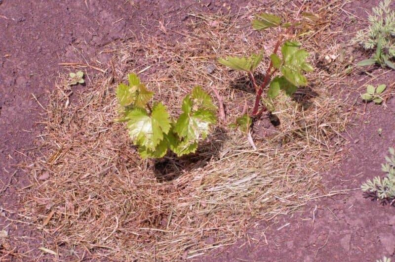 После посадки саженца, мульчируют почву слоем компоста или жмыха