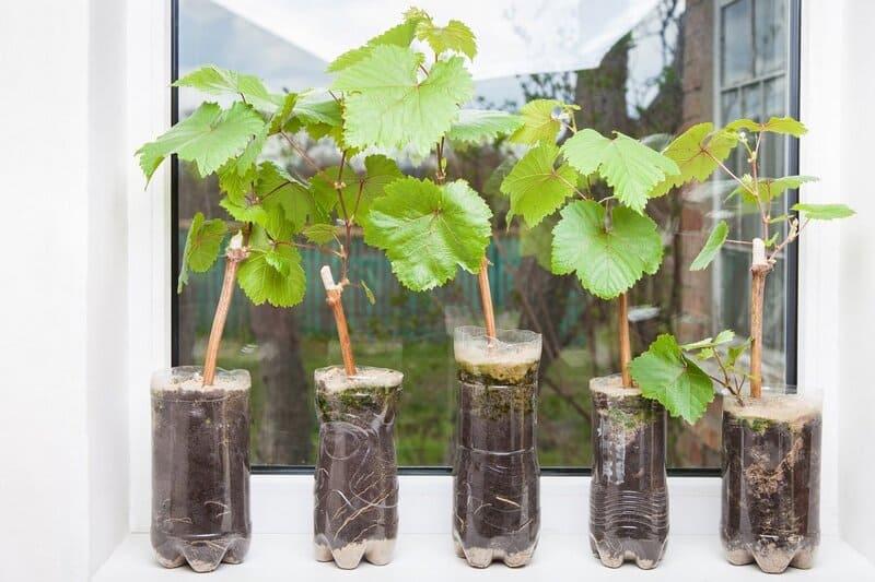 На здоровых растениях нет черных точек, налета или пятен
