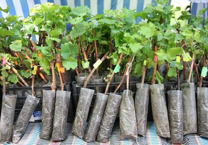 Вероятность, что из саженца вырастет плодоносящий куст, приближена к 100 %