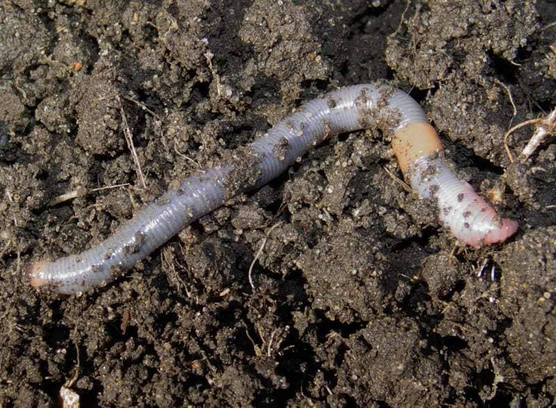 Сделать почву рыхлой и плодородной можно благодаря дождевым червям