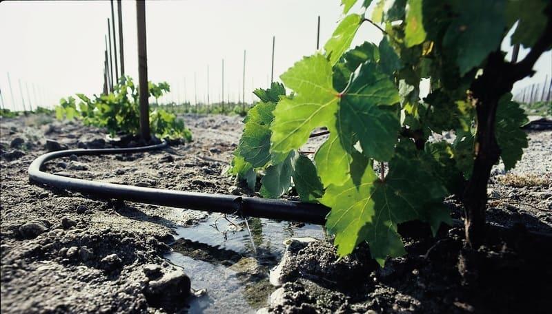 Виноград не приемлет отсутствия поливов в течение 30-40 дней