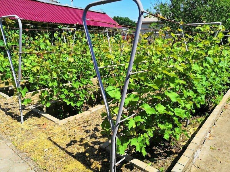 Гибрид Виктор можно выращивать практически во всех регионах страны