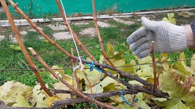 Осенью обрезают неплодоносящие побеги на 8-12 глазков