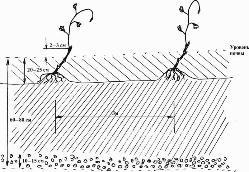 Расстояние между посадочными ямами должно составлять 3,0-4,0 м
