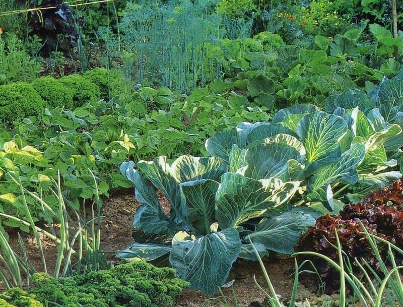 Лучшими соседями считаются огородные культуры: капуста, лук, укроп, фасоль