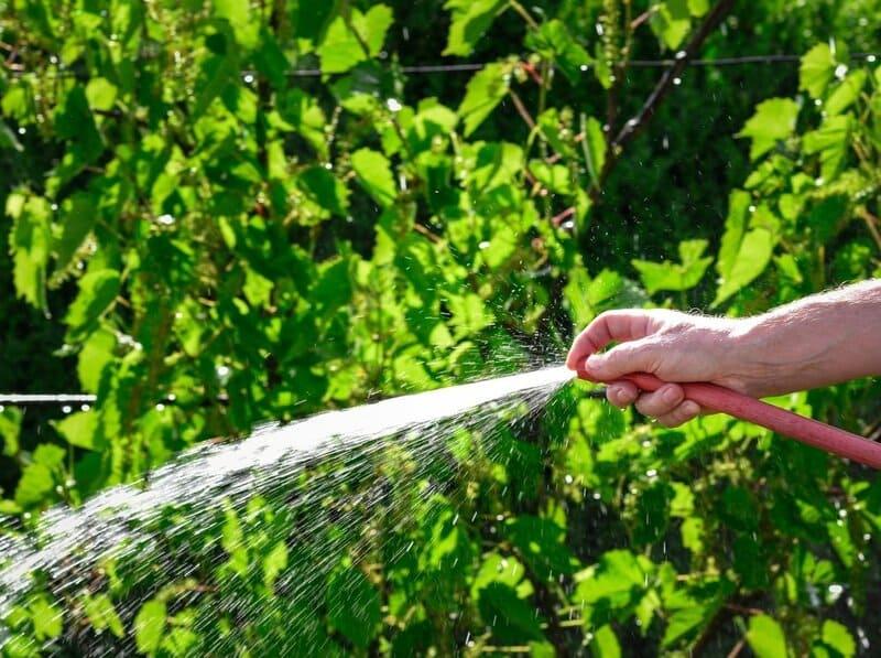 Нужно соблюдать поливной режим, в период активного созревания гроздей