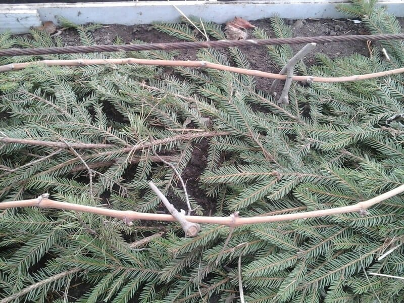 В зиму кустики можно укрывать еловыми ветками
