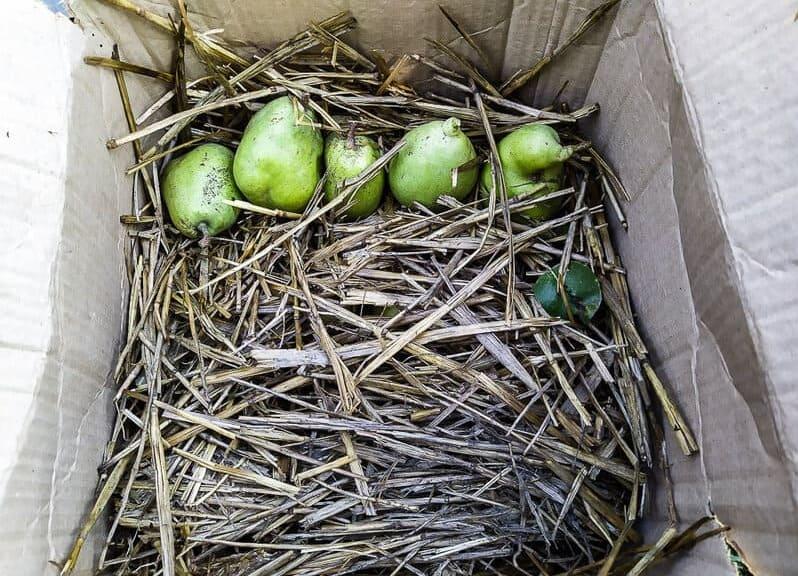 Грушу укладывают в солому, для долгого сохранения свежести фруктов