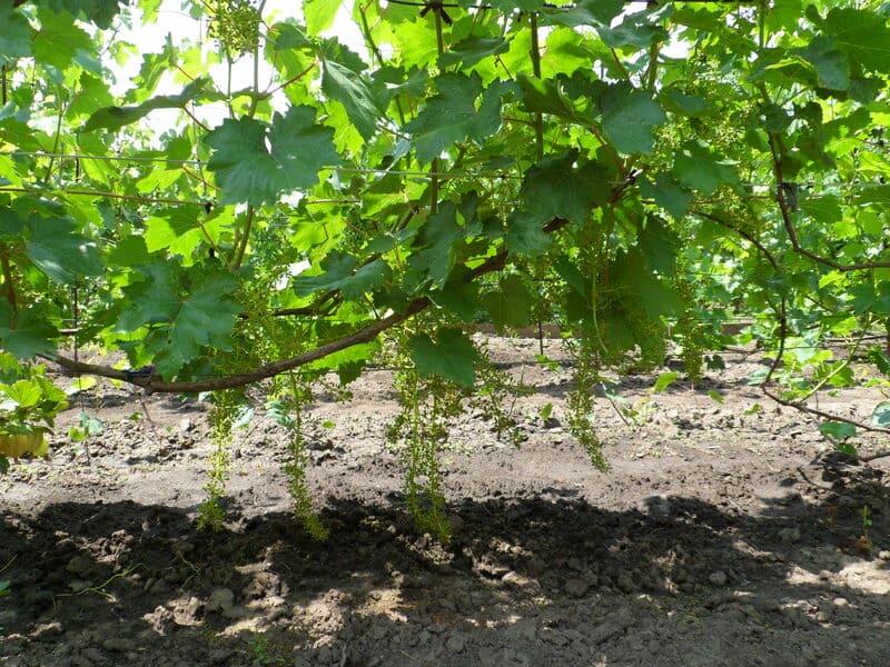 Виноград нужно обязательно подвязывать и проводить санитарную обрезку