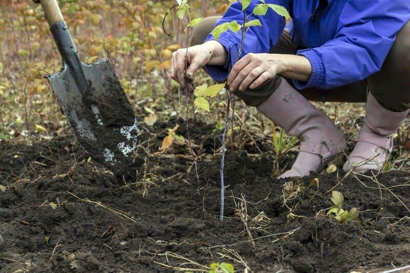 Осенью комфортные погодные условия для хорошей приживаемости саженцев