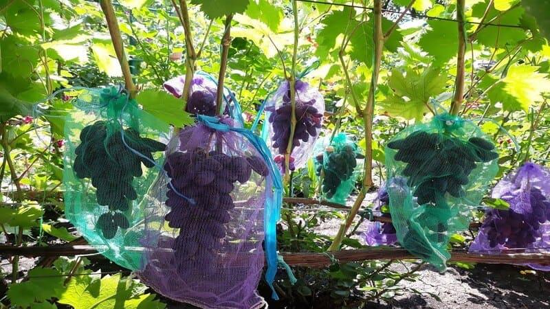 От повреждения урожая птицами рекомендуется использовать сетчатые мешочки