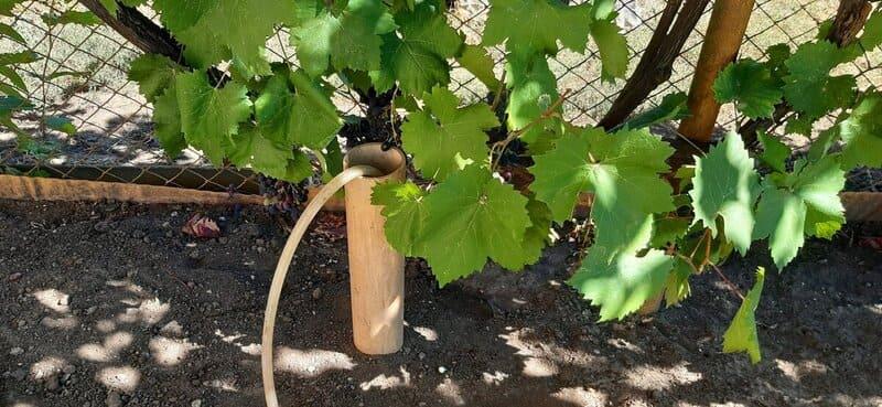 Рекомендуется поливать виноград через трубу