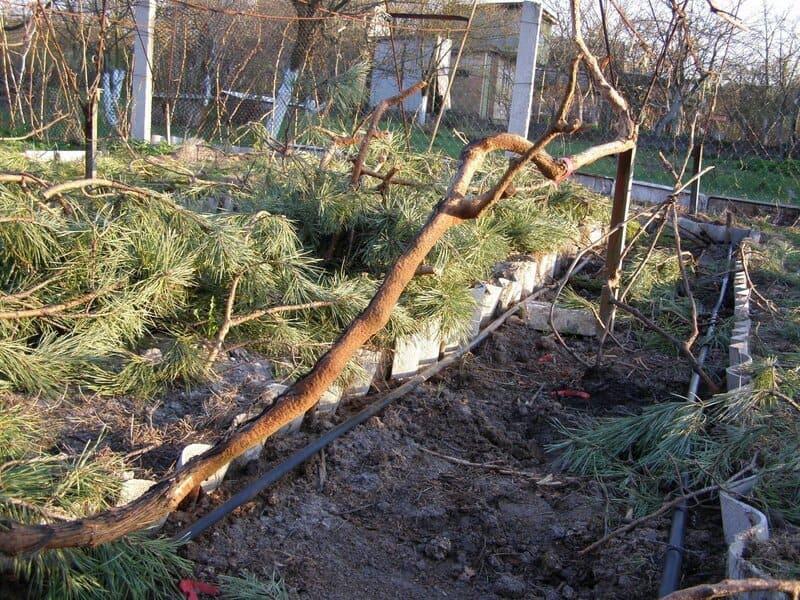 Виноград Сицилия в зиму укрывают лапником