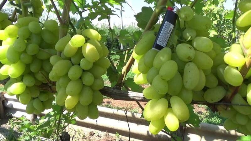 Сорт Сицилия не дает большого урожая