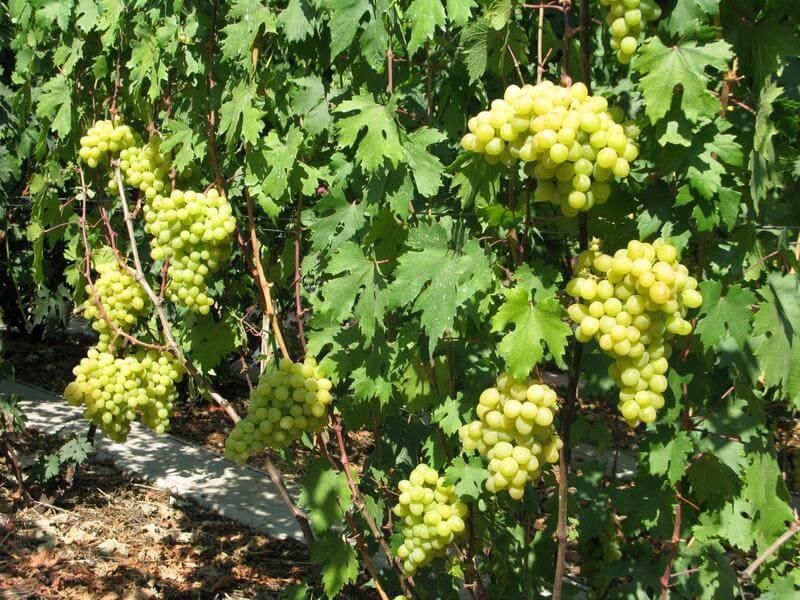 Кусты данного винограда вырастают крупными и мощными