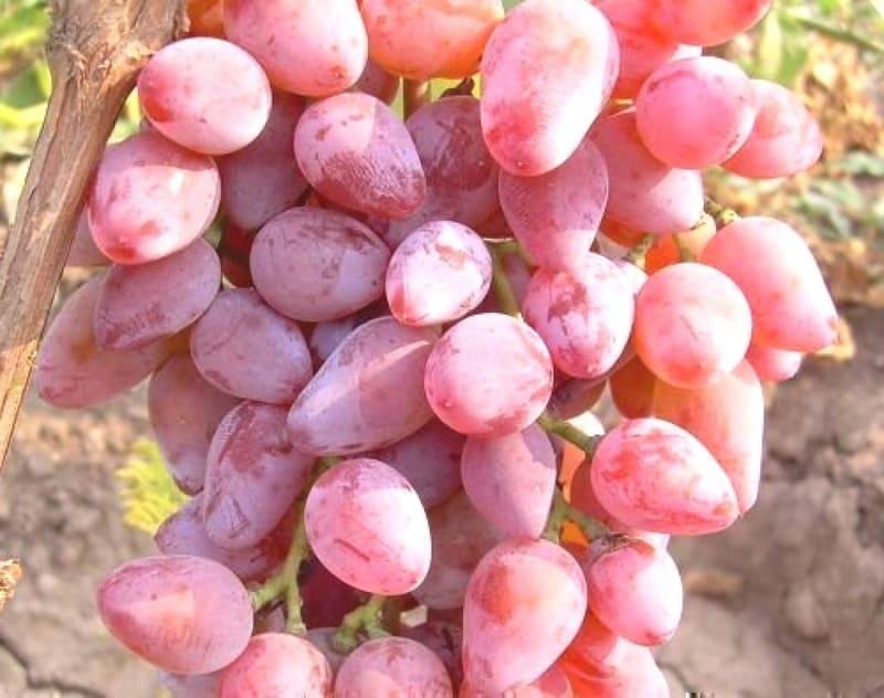 Виноград Румба содержит большое количество витамина В