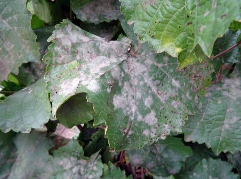 При поражении грибком все части растения покрываются светлым налетом