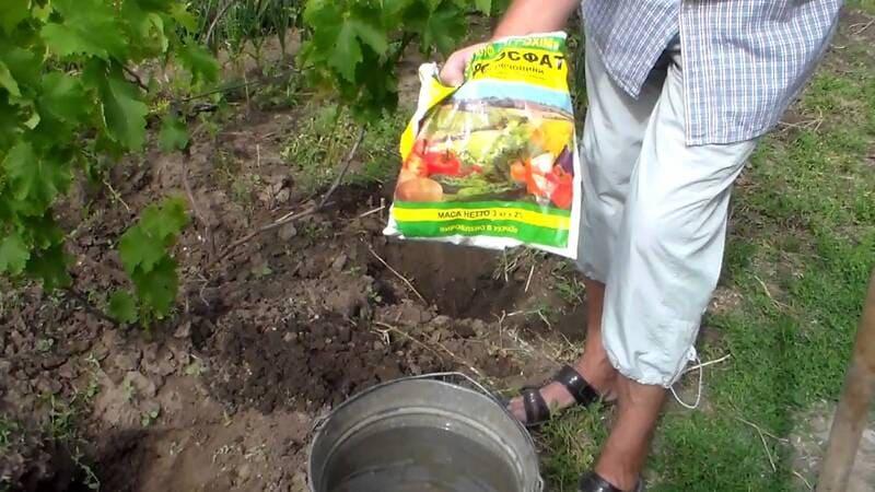 После уборки урожая лозу подкармливают фосфорными удобрениями