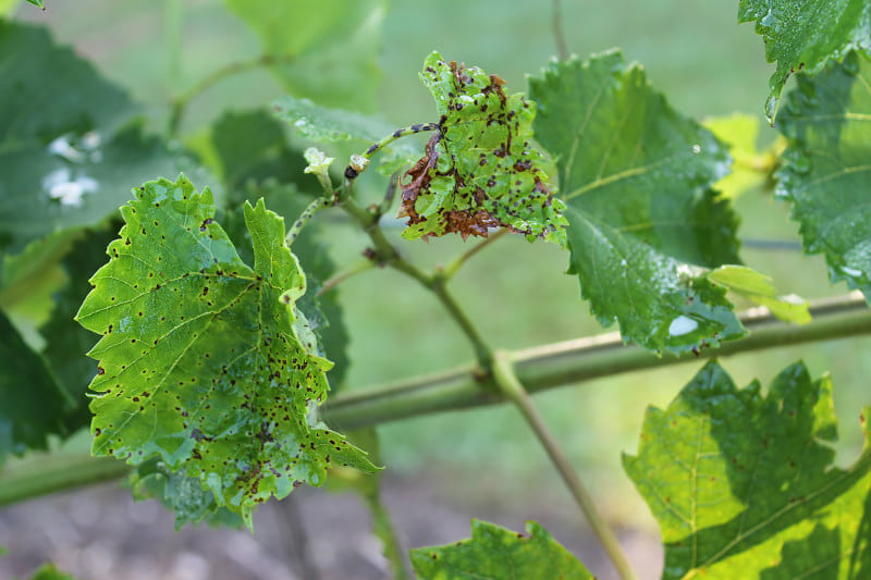 При антракнозе на листьях образуются бурые пятна с темной каймой