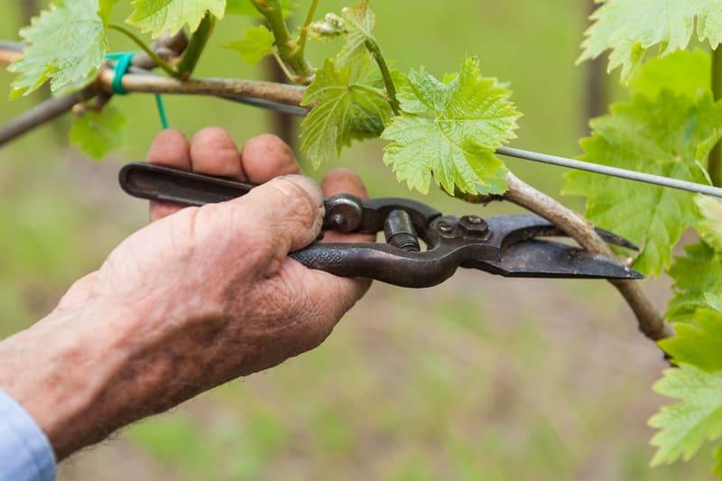 Регулярная обрезка винограда помогает увеличить урожай