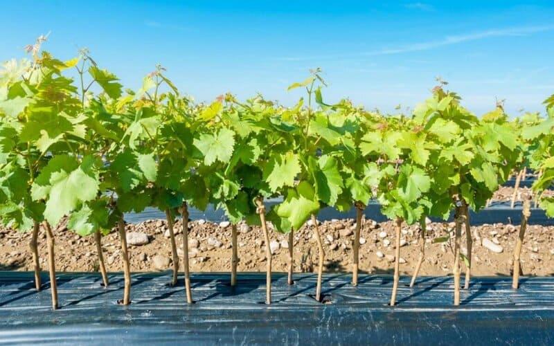 Саженцы лучше приобретать у надежных продавцов или виноградарей