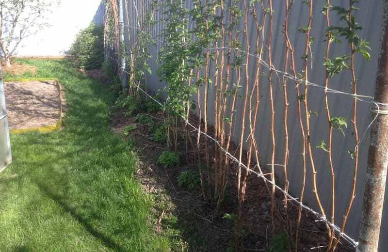 Хорошим дополнением станет защита малины от сквозняков и холодного ветра