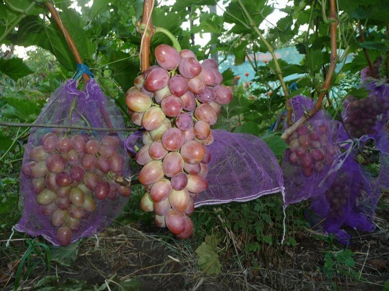 Для защиты винограда от птиц и ос на грозди надевают мешочки из сетки