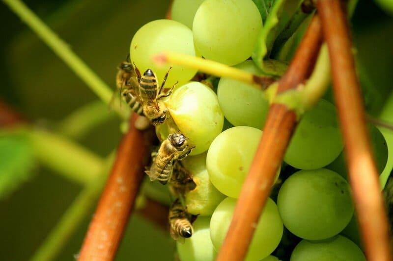Особо вредят кустам винограда осы, поэтому так важно бороться с ними сразу