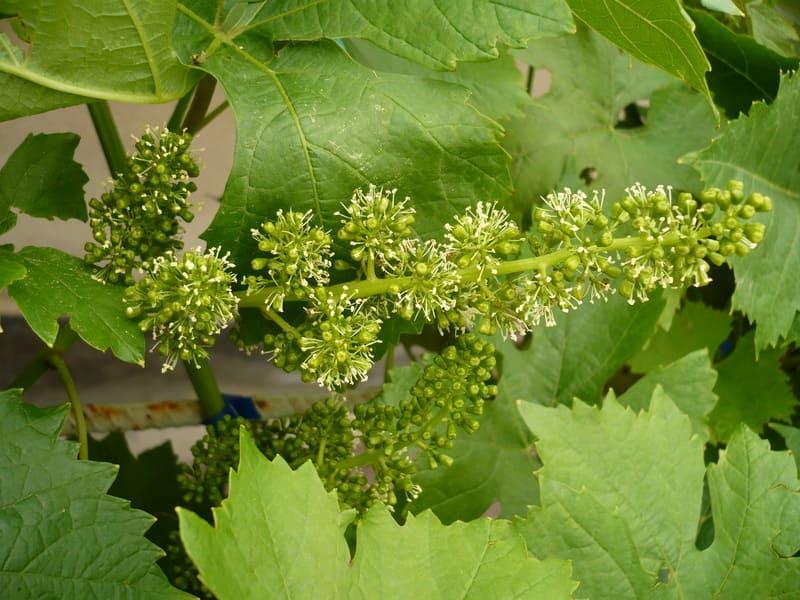 Хорошо будут опыляться кисти винограда, если его обрабатывают Гедерлином