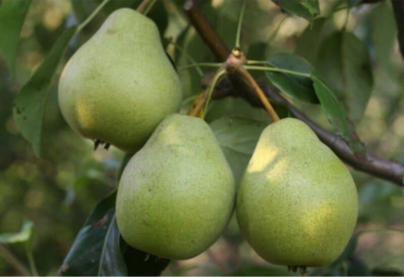 Осенние сорта могут дозревать вне материнского дерева