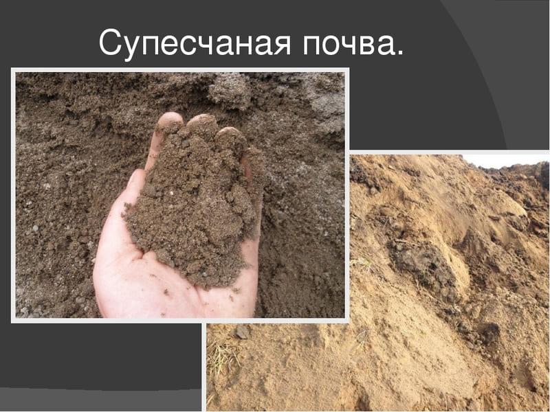 Супесчаная почва представлена неплотными комками, которые легко разламываются