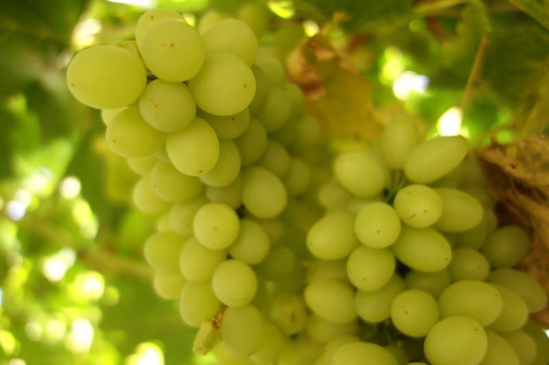 Виноградины – крупные, овальной формы, со средним весом 15-16 г