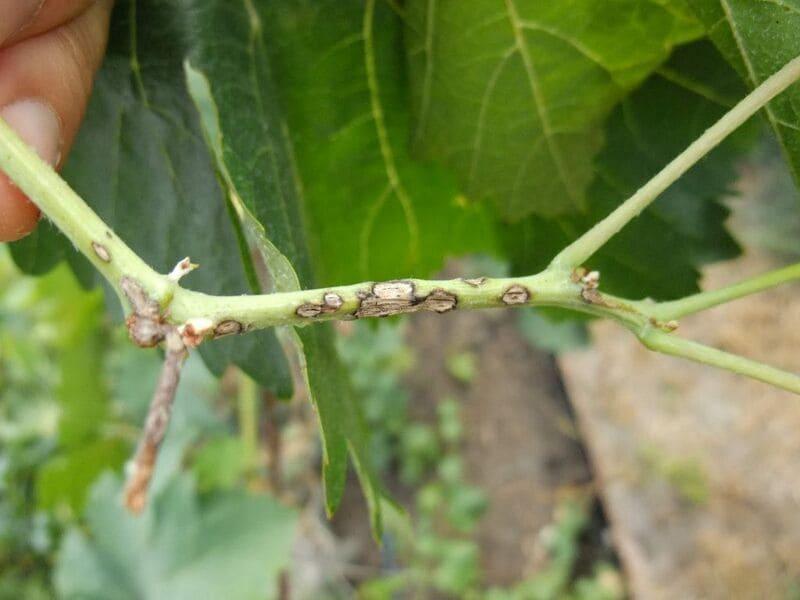 Антракноз поражает все части растения