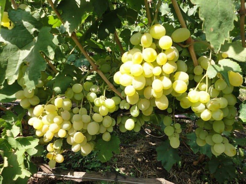Этот сорт винограда отличается хорошей урожайностью и неприхотливостью